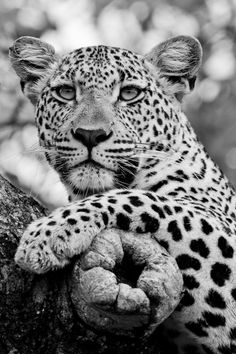 marula tree cat by laura dyer