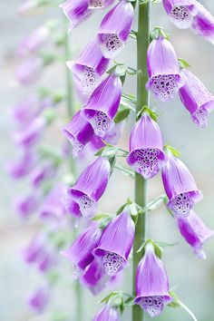 (36) Tumblr  Digitalis purpurea by Jacky Parker Floral Art on Flickr.