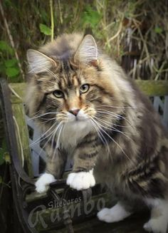 Rambo 8 months old by Shedoros Maine Coon Cattery