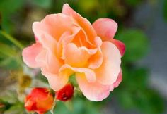 Roses have a reputation for being difficult. But like anything, rose gardening is easy... if you know the tips and tricks of the trade.