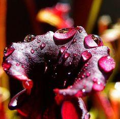 Seed grown flava var rubricorpora #sarracenia #pitcherplants #pitcherplantsofinstagram #pitcherplant #carnivorousplantsofinstagram #carnivorousbog #carnivorousplants #flava #sarraceniaflava #sarraceniacrazy #carnivorousplantswag