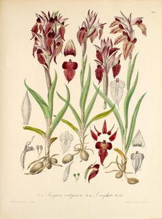 Serapias cordigera L.  1868