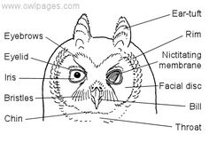 General Owl Physiology - The Owl Pages