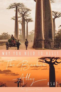 In one of the most iconic places in the world, the mother tree or Baobab, stands as a wonder of nature. But what is life like and what is the future of this beautiful destination on the island of Madagascar? See why you should visit as soon as possible. Countries To Visit, Places To Visit, Amazing Destinations, Travel Destinations, Madagascar Travel, Safari, Travel Guides, Travel Tips, Travel Essentials