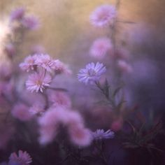 soft lavender by satoshi on flickr