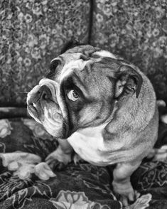 The many things we adore about the Friendly Bulldog Dogs Bulldog Puppies, Cute Puppies, Cute Dogs, Dogs And Puppies, Doggies, Animals And Pets, Baby Animals, Cute Animals, Unusual Animals