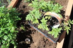 Gardening secrets: plant an egg shell and banana peel with your tomatos for rich soil and healthy plants. Other planting tips here too!