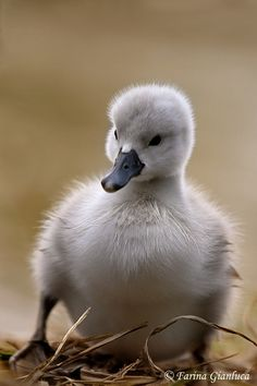 """'Hello' - cygnet by Gianluca Farina (I guess baby swans are only """"ugly"""" to ducks - a reminder that beauty IS in the eye of the beholder, and a lot of people are blind to anything but their own perceptions)."""