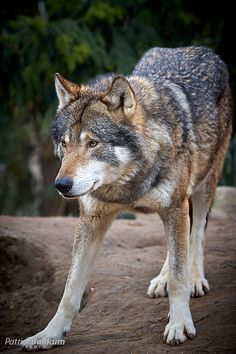 European wolf by Patrick Bakkum on Flickr | www.patrickbakkum.nl