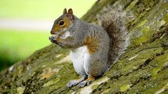 Using Squirrel Calls while Hunting – Do they work?