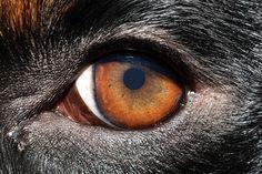 Rottweiler eye, so beautiful