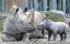 The new southern white rhino calf checks in with mother Ashanti while taking his public bow in Dublin Zoo yesterday Cute Wild Animals, Animals Beautiful, Animals And Pets, Beautiful Creatures, African Animals, African Elephant, Dublin Zoo, Baby Rhino, Safari