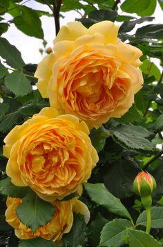 Golden Celebration, shrub rose. David C. H. Austin 1992
