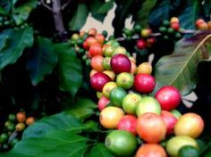 The Blue Mountain Coffee...certainly one of the best in the world....