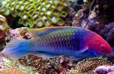 Not all saltwater aquarium wrasses and other fish are reef safe. Reef Safe saltwater fish are marine fish wrasses and others that are both safe for corals and safe for invertebrates in a reef aquarium. Marine Aquarium Fish, Saltwater Aquarium Fish, Saltwater Tank, Marine Fish, Reef Safe Fish, Salt Water Fish, Beautiful Fish, Ocean Creatures, Exotic Fish