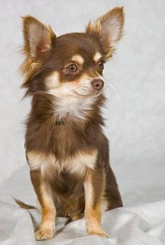 Effective Potty Training Chihuahua Consistency Is Key Ideas. Brilliant Potty Training Chihuahua Consistency Is Key Ideas. Merle Chihuahua, Baby Chihuahua, Teacup Chihuahua, Brown Chihuahua, Cute Puppies, Cute Dogs, Dogs And Puppies, Doggies, Dog Photos