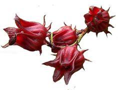 fleur d'hibiscus rouge