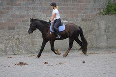 Jazz working so well for Deanna! Excuse the poop... #loveirishhorses #horseforsale