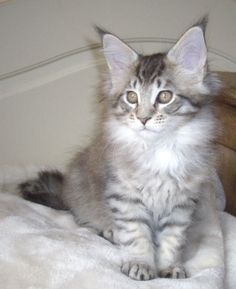 Mainly silver maine coons
