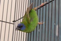 Finch - Parrot - Blue-faced Finches, Parrot, Birds, Face, Animals, Parrot Bird, Chaffinch, Animaux, Bird