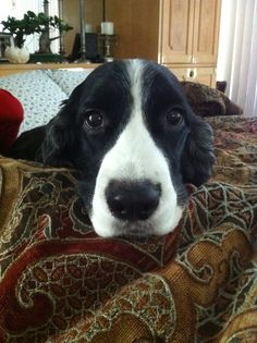 """Lilly has been a delight. She's my third springer and by far the best """"four legged"""" friend I've ever had Spaniel Dog, Spaniels, English Springer Spaniel, Four Legged, Animals And Pets, Third, Fish, Friends, Dogs"""