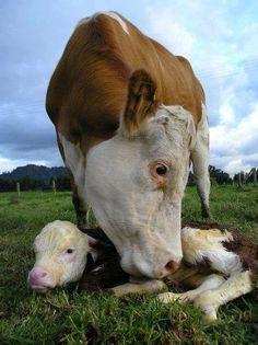 Newborn baby Tender bond of love between mother cow and calf