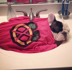 WITH A T-SHIRT BLANKET. | 28 Important Facts About Manny The Sink Sleeping French Bulldog