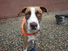 """1 YEAR OLD """"MABEL"""" with the most gorgeous eyes you've ever seen needs a loving home! Come down & meet this pretty girl soon! WPHS ELIZABETH, PA>>.PetHarbor.com: Animal Shelter adopt a pet; dogs, cats, puppies, kittens! Humane Society, SPCA. Lost & Found."""