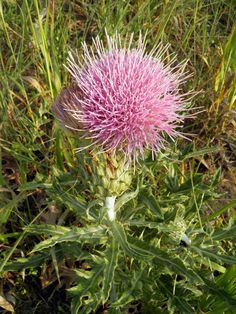 how to kill canadian thistle