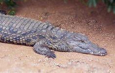 KROKODÝL NILSKÝ -je nejhojnější a nejznámější druh krokodýla