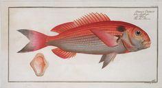 Sparus Pargus, The Sea-Bream.