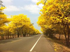 Los cañaguates y los robles son árboles ornamentales del paisaje vallenato. Las flores del cañaguate con su esmalte amarillo parecen fragmentos de sol colgando sobre las ramas sin hojas. Las flore…