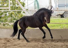 Baroque PRE Stallion With Charm - Horses for sale
