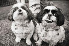 gotta love shih tzu's:) my dog had the same face many times... I'm not smart, but I'm pretty!