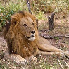 Daily greet from the bush! #klaserie #africaonfoot #sundestinations #safari #wildlife #lion #krugerpark by jochenvdp