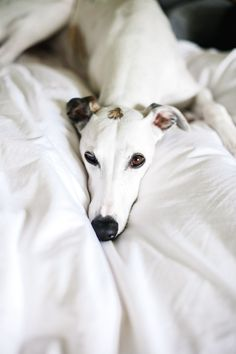 Lovely Greyhound