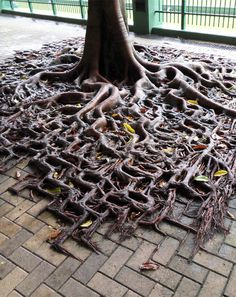 When Tree Roots Spill Over The Sidewalk. This is determination and overcoming challenges taken to a whole other level... pure awesome!