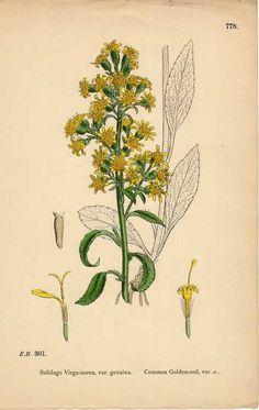 Old botanical print Goldenrod Guldenroede 1899 Solidago antique