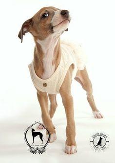 Lévrier italien / Italian greyhound