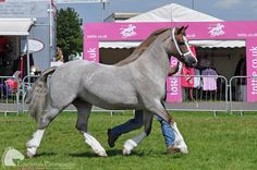 Breed: Welsh pony, section D. I had a section C. I would LOVE a section D though!!! So biggish lol.