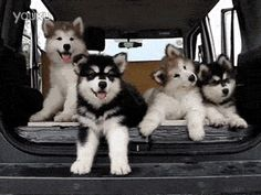 Funny pictures about It's A Malamute Thing. Oh, and cool pics about It's A Malamute Thing. Also, It's A Malamute Thing photos. Puppies Gif, Cute Puppies, Cute Dogs, Dogs And Puppies, Corgi Puppies, Animals And Pets, Baby Animals, Funny Animals, Cute Animals