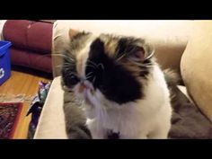 Help My Foster, Abby the Calico Persian, to Get Airway Surgery, so She Can Breathe! | Pets & Animals - YouCaring
