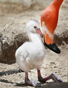 Amazing wildlife -  Orange Flamingo and chick photo #flamingos
