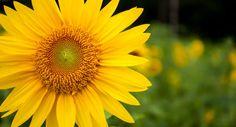 sunflower garden,sunflower wedding,sunflower tattoo  #flychord #flychordpiano