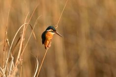 Kingfisher in Warm Sunset Light by Mubi.A