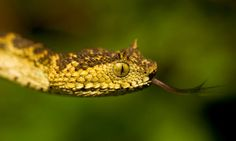 Meet Matilda's horned viper, the newest snake in the world