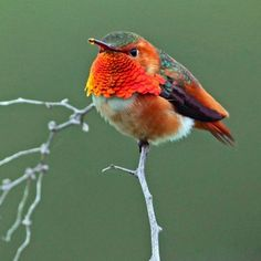 beautymothernature:      Beautiful Rufus Hummingbird by Love Moments