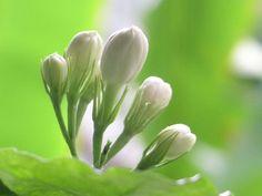Pikaki flower