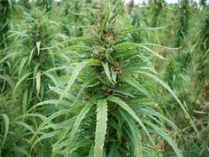 Hemp is our most lucrative product it has many uses, able to produce highly demanded goods, attracting large revenue streams. The most profitable use of hemp is to produce oil. It is one of the most demanded commodities in the world. The rest of the world still largely depends on oil to power its automobiles and power stations, so demand is expected to remain high for future. Our society being a green & efficient one our need for oil is minimal so most oil produce can be exported for profit.