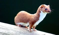 The least weasel is the world's smallest carnivore, occurring throughout Eurasia, North America and North Africa. They can weigh as little as 1.04 ounces (29.5 grams) or as much as 8.8 ounces (250 grams). Their size is also very variable, but they can be as small as 5 inches (131 millimeters) long, including the tail! Don't let that fool you—despite their petite size, they are formidable and fierce hunters.